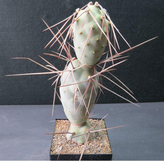 Tephrocactus aoracanthus Nr3611