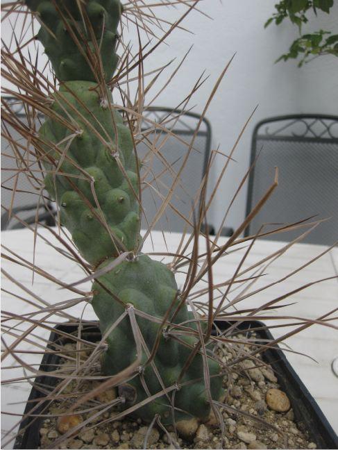 Tephrocactus aoracanthus var. paediophilus Nr41b10