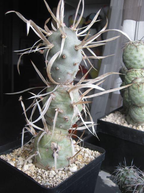 Tephrocactus articulatus var. syringacanthus Nr4210