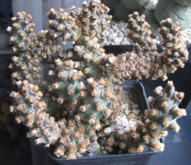 Tephrocactus molinensis Nr44a10