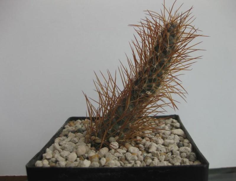 Tephrocactus weberi  Nr45_k10