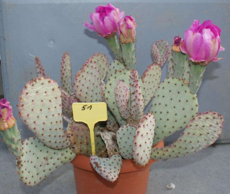 Opuntia basilaris var. ramosa Nr48_b10