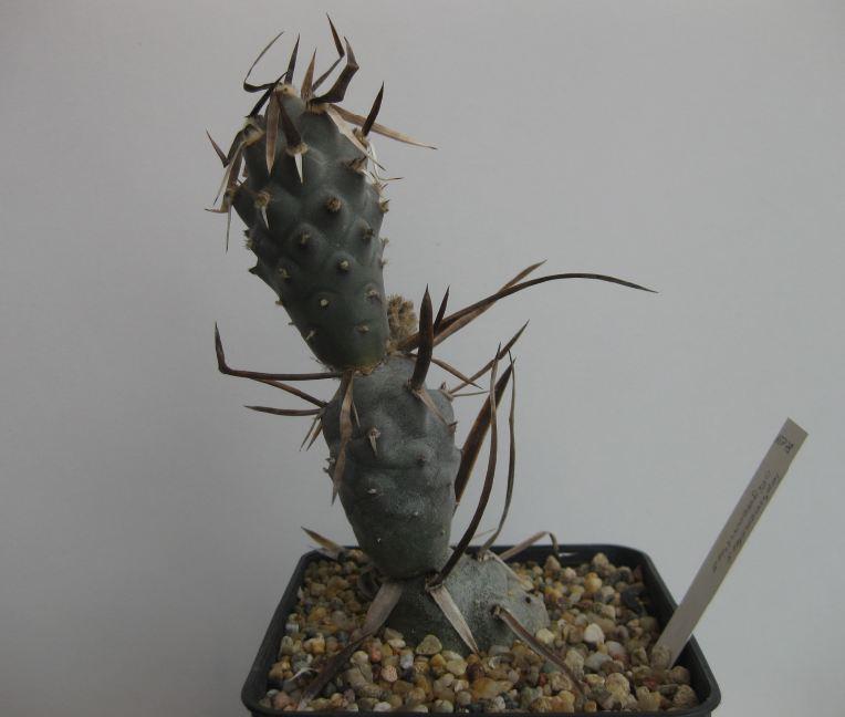Tephrocactus articulatus var. oligacanthus Nr50_k10