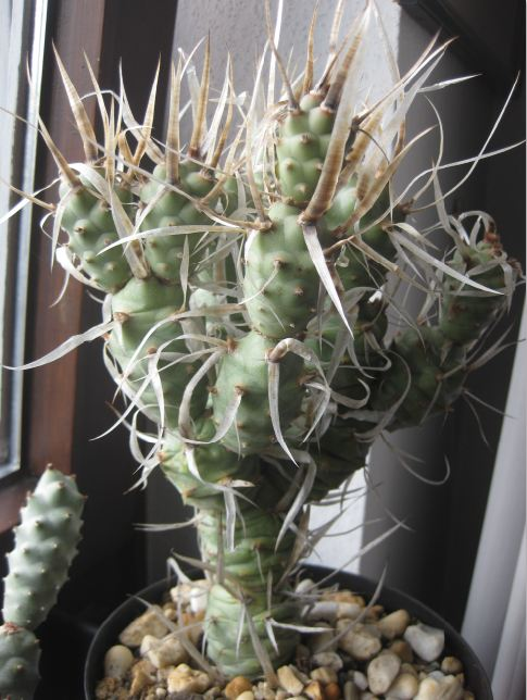 Tephrocactus articulatus var. papyracanthus Nr52a10