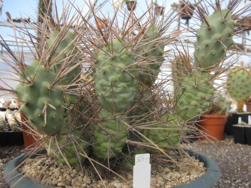 Tephrocactus aoracanthus Nr_61a10