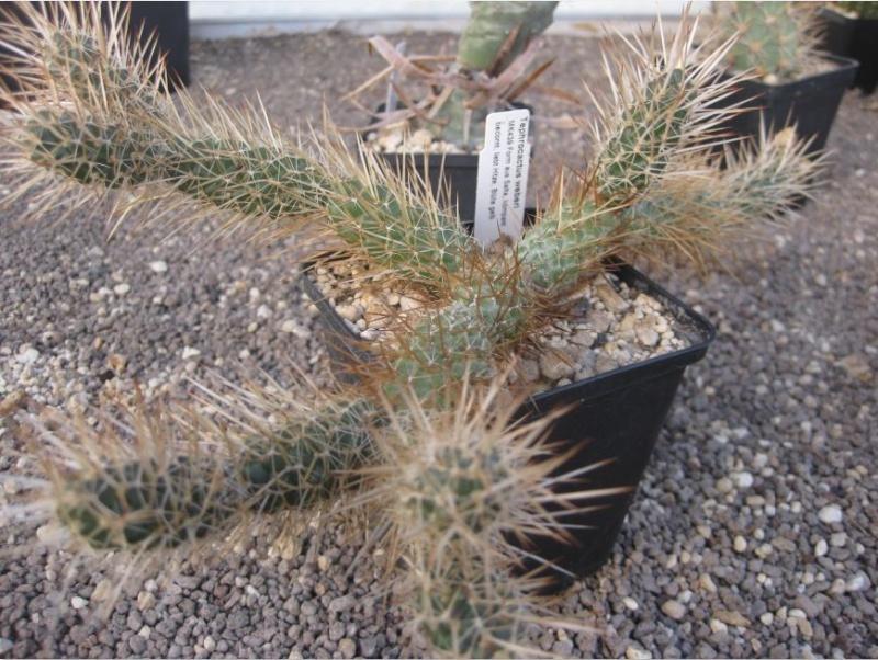 Tephrocactus weberi  Nr_67_10