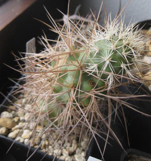 Tephrocactus alexanderi var. bruchii Nr_69_10
