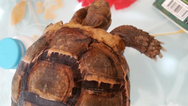 je crois que ma tortue grandit trop vite et mal Craque10