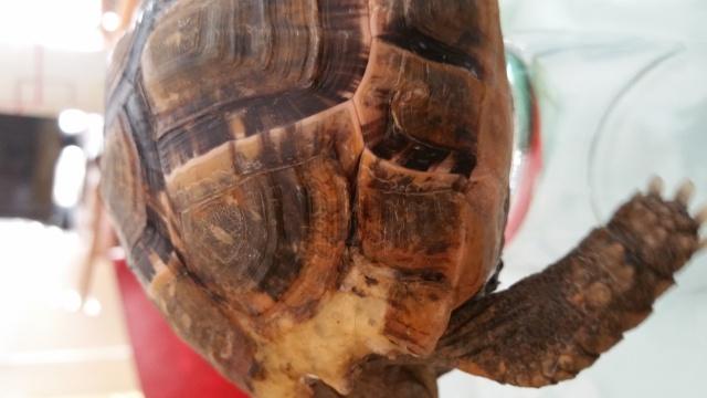 je crois que ma tortue grandit trop vite et mal Craque12