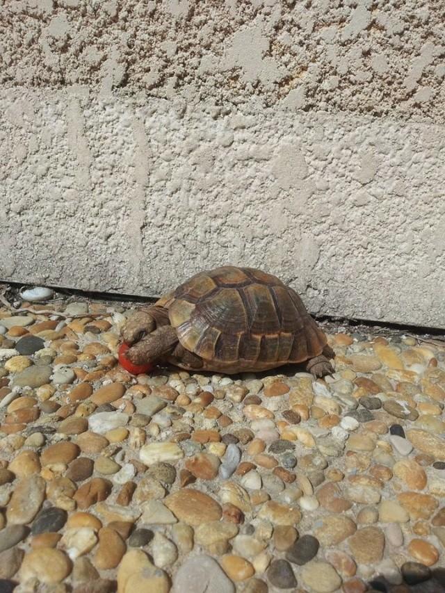 je crois que ma tortue grandit trop vite et mal Pomme_11