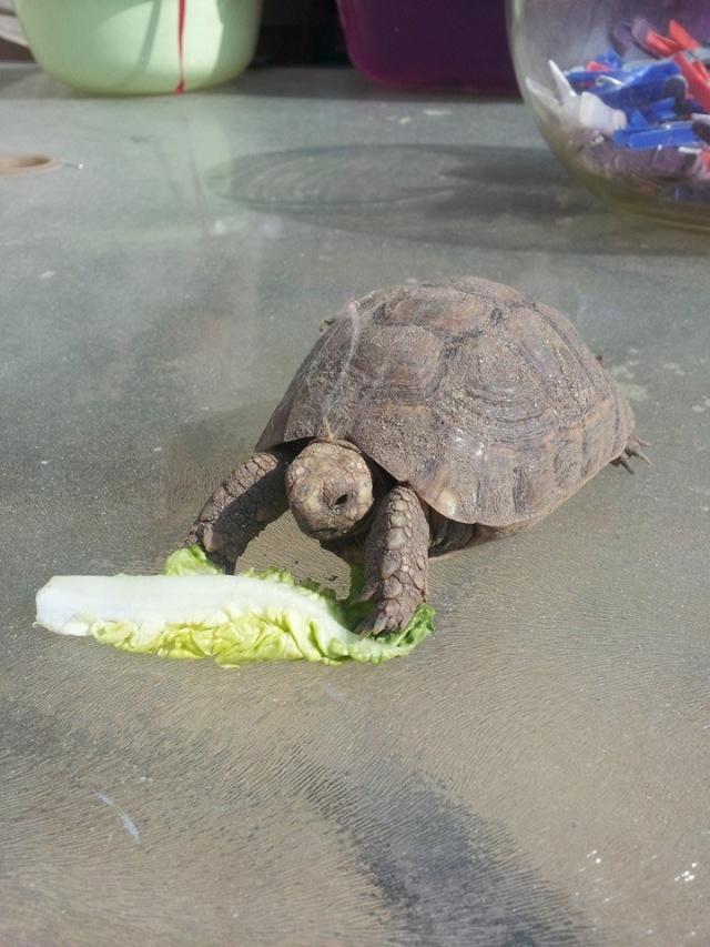 je crois que ma tortue grandit trop vite et mal Pomme_12