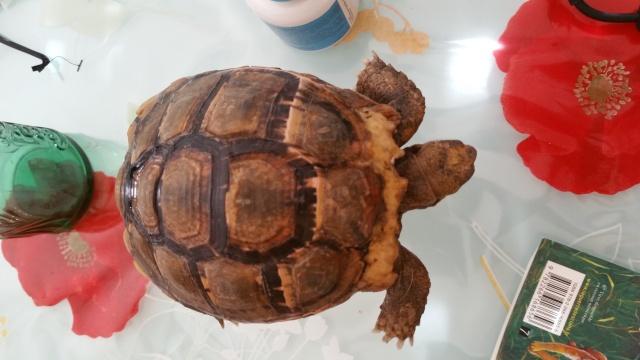 je crois que ma tortue grandit trop vite et mal Vue_de10
