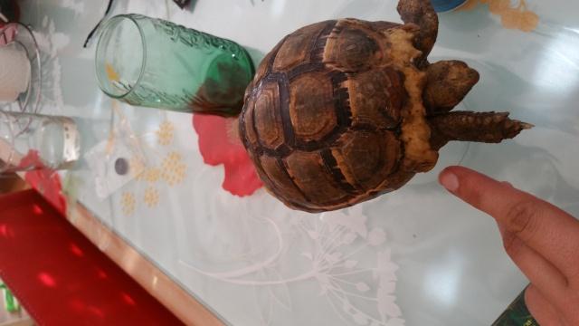 je crois que ma tortue grandit trop vite et mal Zone_d10