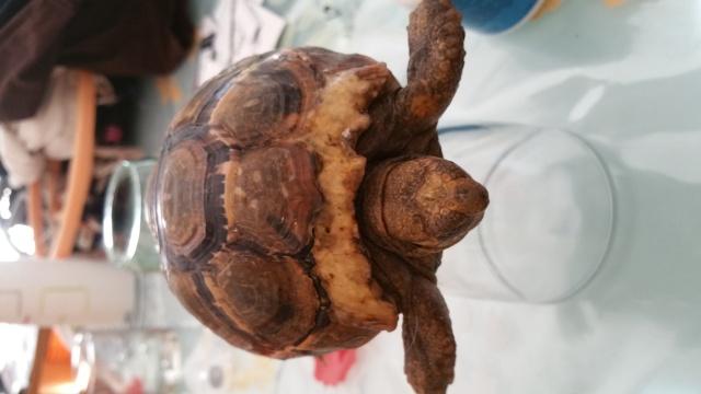je crois que ma tortue grandit trop vite et mal Zone_m10