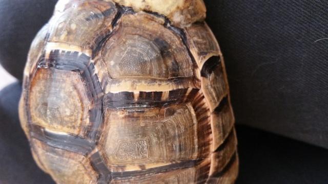 je crois que ma tortue grandit trop vite et mal Zones_10