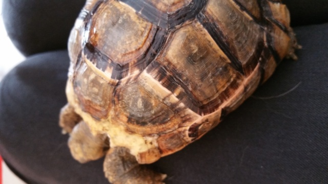 je crois que ma tortue grandit trop vite et mal Zones_11