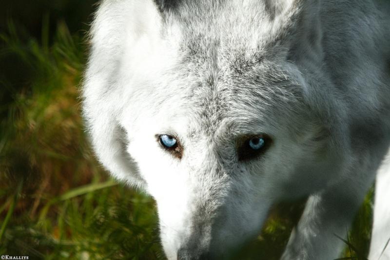 Hunter Emma of Agavos - Adoption Wolf_d11