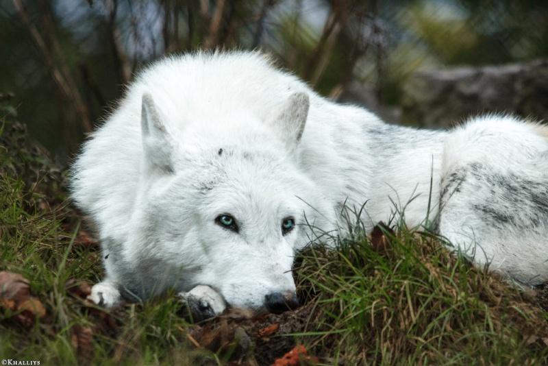 Hunter Emma of Agavos - Adoption Wolf_d12