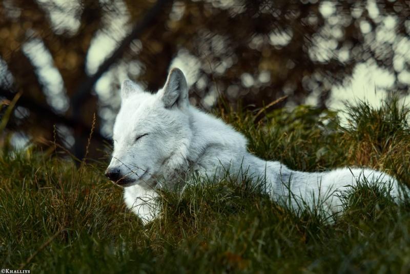 Hunter Emma of Agavos - Adoption Wolf_d13