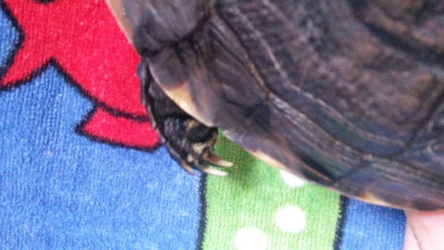 Problème avec mes tortues 20150812
