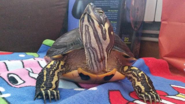 Problème avec mes tortues 20150815