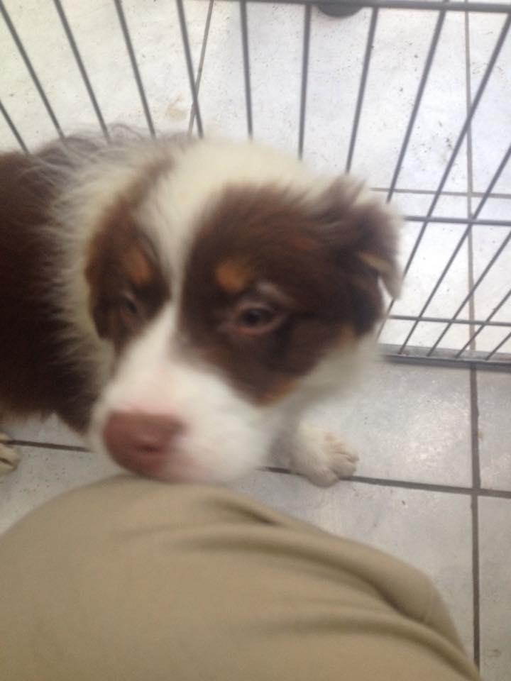 Ma petite Arya ( Berger australien )  11949510