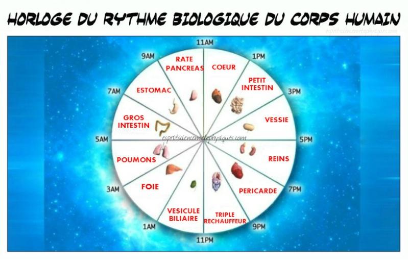 Horloge du rythme biologique du corps humain Horlog10