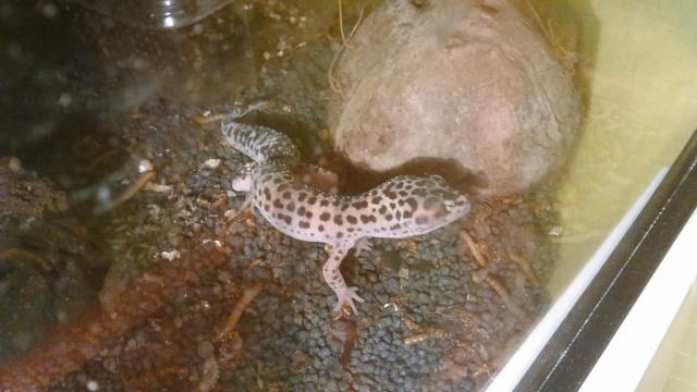 problème gecko leopard Gecko13