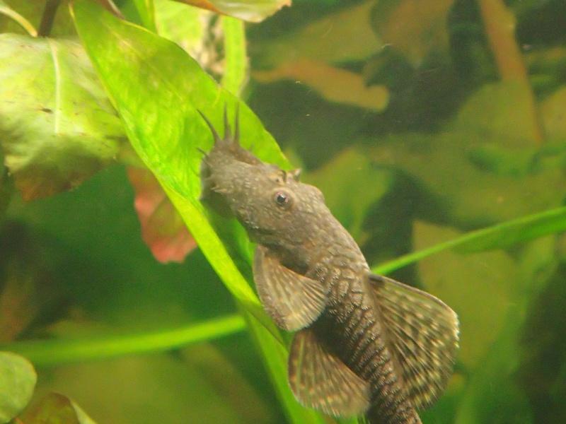 Ancistrus male ou femelle ? P9130011
