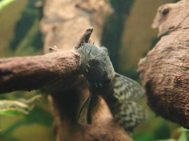 Ancistrus male ou femelle ? P9130012