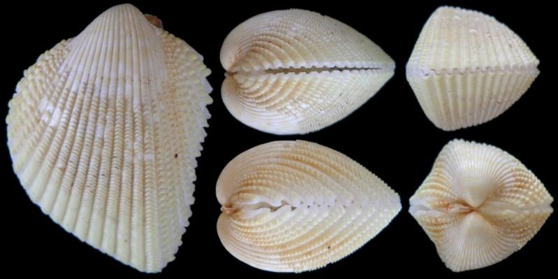 Fragum fragum - (Linnaeus, 1758)  Fragum10