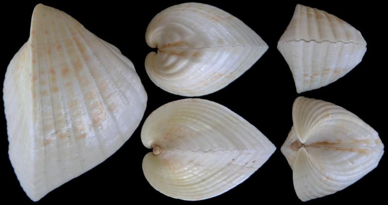 Lunulicardia retusa - (Linnaeus, 1767)  Lunuli10