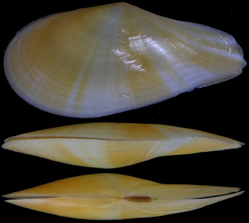Dallitellina rostrata - (Linnaeus, 1758) Tellin13