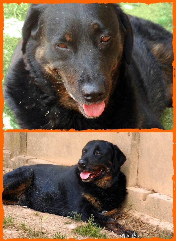 BAHIA  -  croisée  Labrador/Beauceron  13 ans (10 ans de refuge)  Refuge de Brignoles (83) Bahia-10