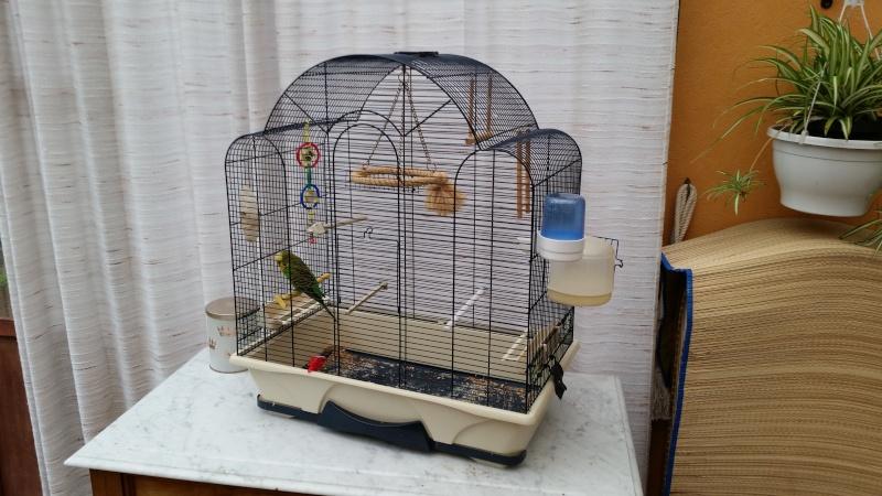Bagarre entre deux perruches !!! 20150910