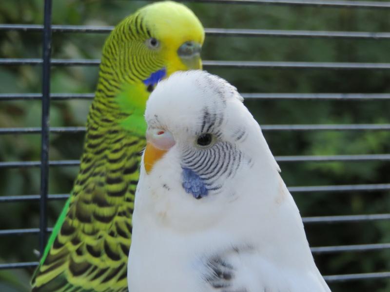 Bagarre entre deux perruches !!! Img_0215