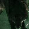 Les images des loups Imdrea10