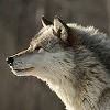 Les images des loups Imkali10