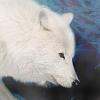 Les images des loups Imphoe10
