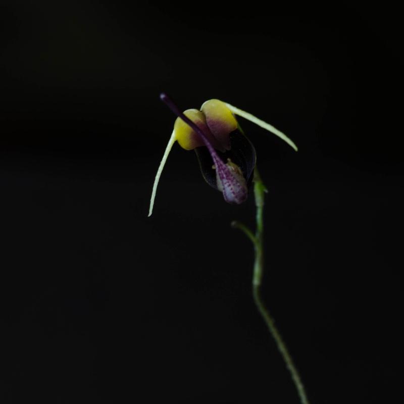 Scaphosepalum Sammelthread - Seite 2 Orchid15