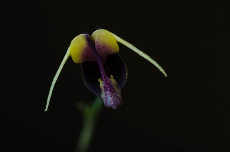 Scaphosepalum Sammelthread - Seite 2 Orchid16