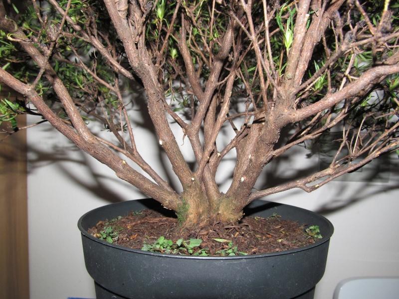impostazione prebonsai rododendro da vivaio Img_1512