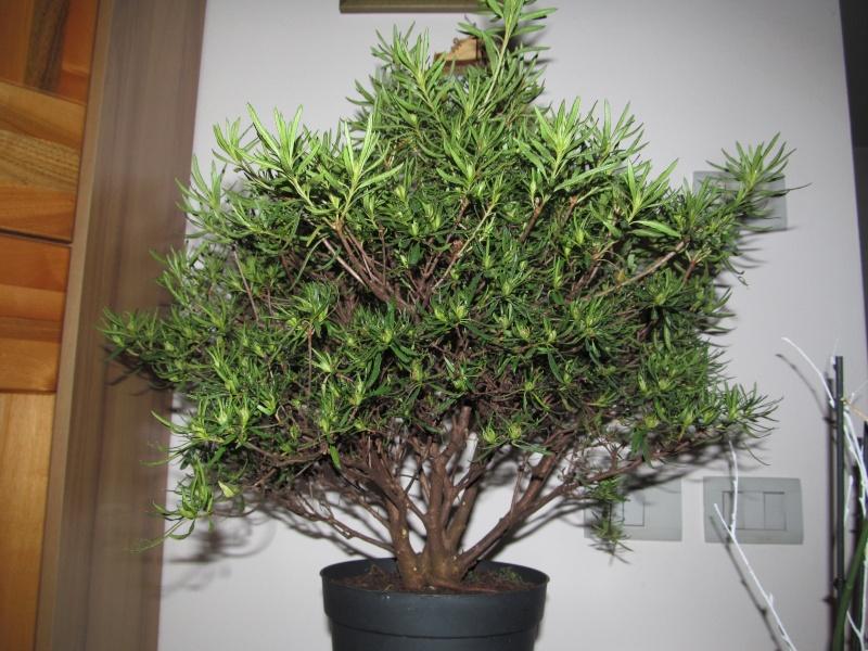 impostazione prebonsai rododendro da vivaio Img_1513