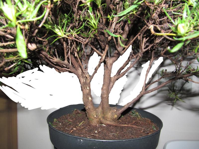 impostazione prebonsai rododendro da vivaio Render10