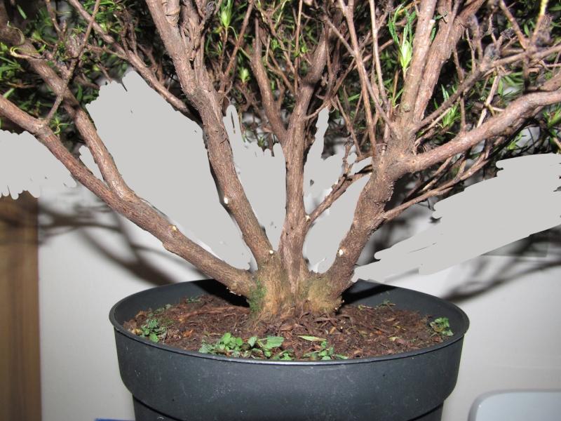 impostazione prebonsai rododendro da vivaio Render11