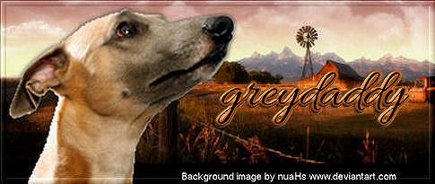 Azawakh Breed Grey2a10