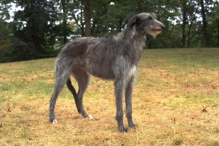 Scottish Deerhound Scotti10