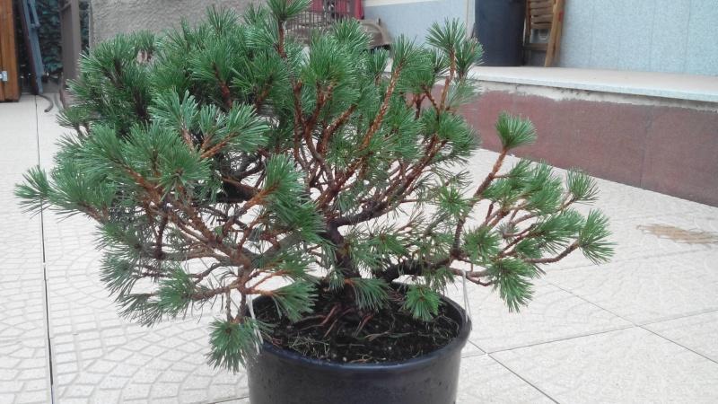 Consigli impostazione pre-bonsai Mugo Img_2014
