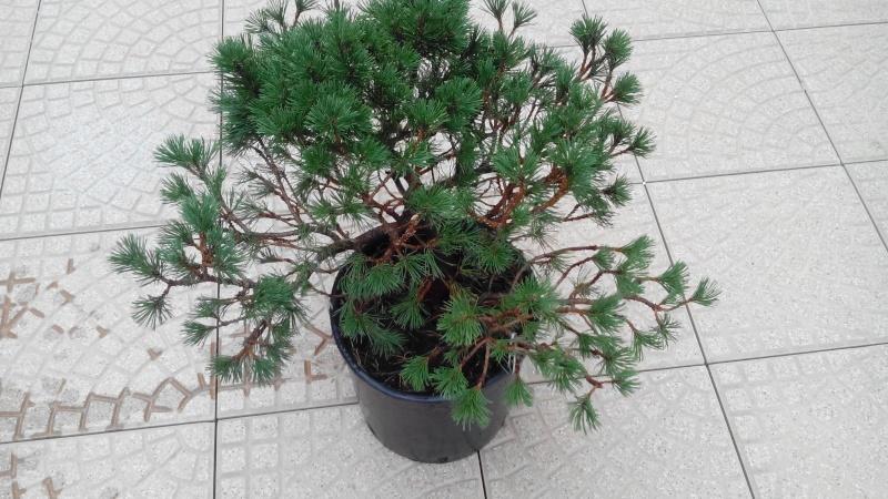 Consigli impostazione pre-bonsai Mugo Img_2015