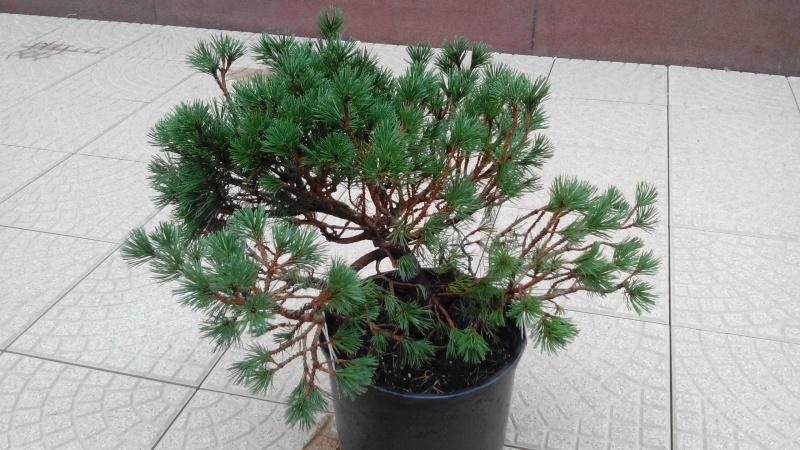 Consigli impostazione pre-bonsai Mugo Img_2017